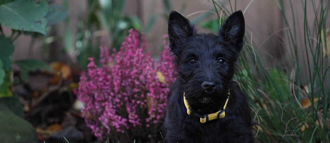 Scottish Terrier Welpen