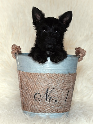 Scottish Terrier Welpe