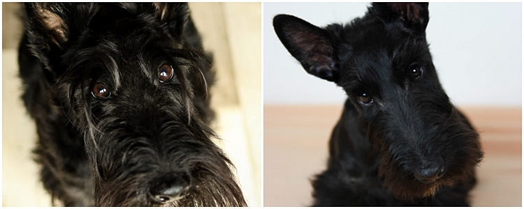 Scottish Terrier Zucht