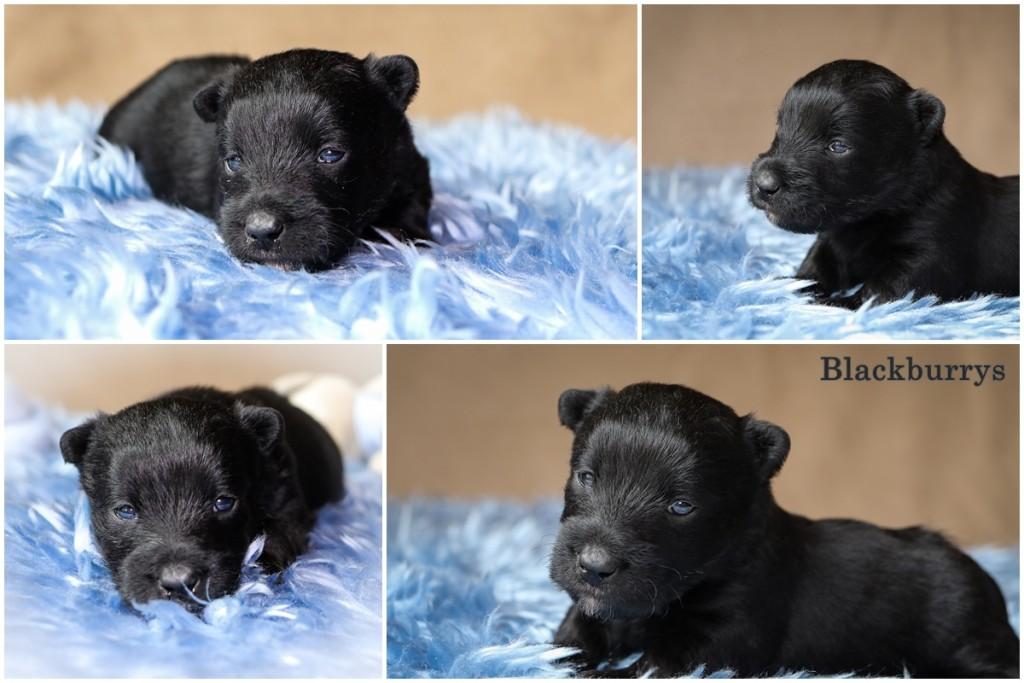 Scottish Terrier Welpen vierte Woche