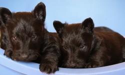 Scottish Terrier Welpen Geschwister