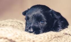 Scottish Terrier Wurf Welpenentwicklung