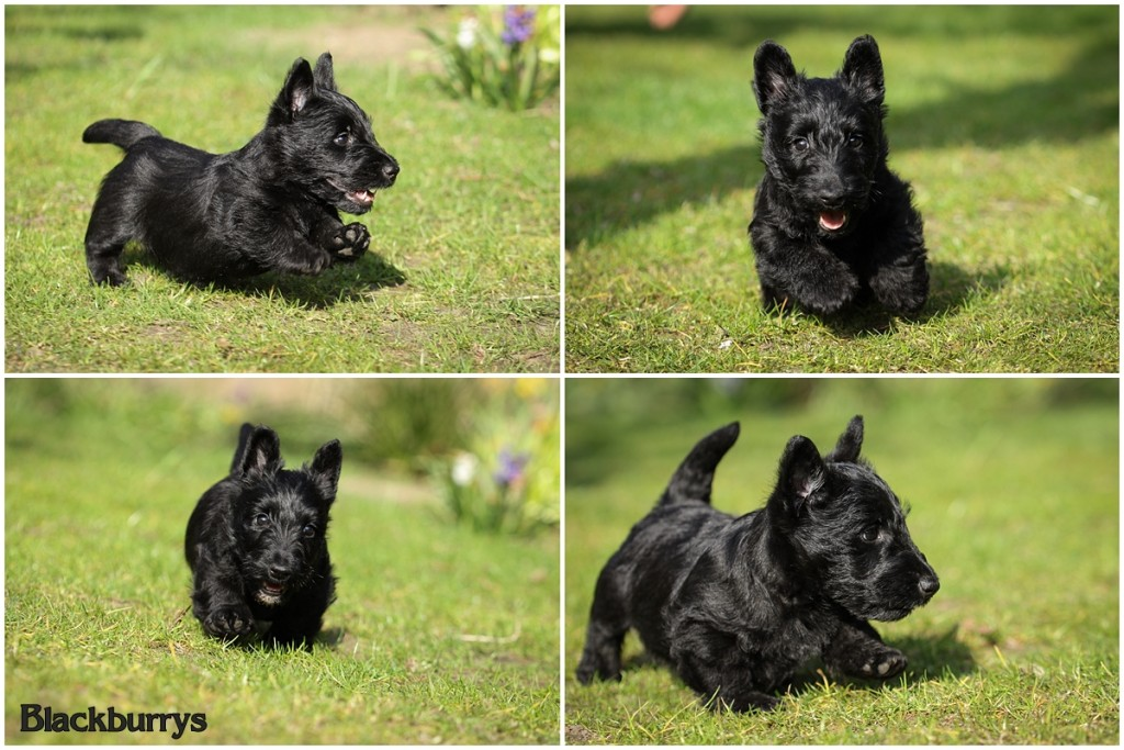 Scottish Terrier Welpen im Garten