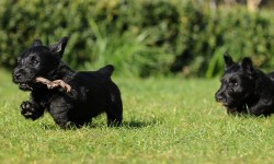 Scottish_Terrier_Welpe_siebte_Woche