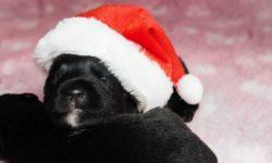 Scottish Terrier Wurf Dezember